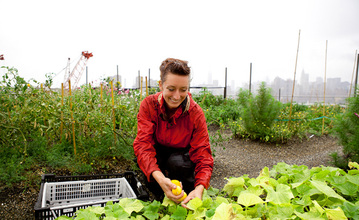 Annie Novak harvesting for the benefit at Eagle Street Rooftop Farm