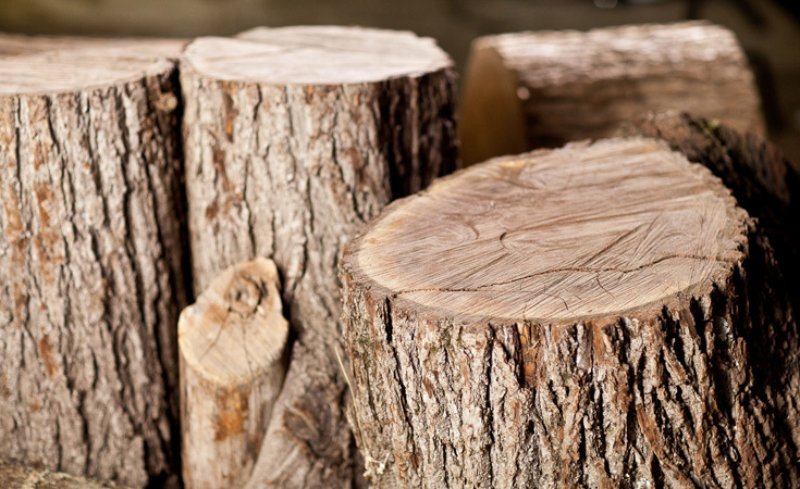 Walnut tree stumps
